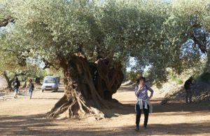 el olivo Icíar
